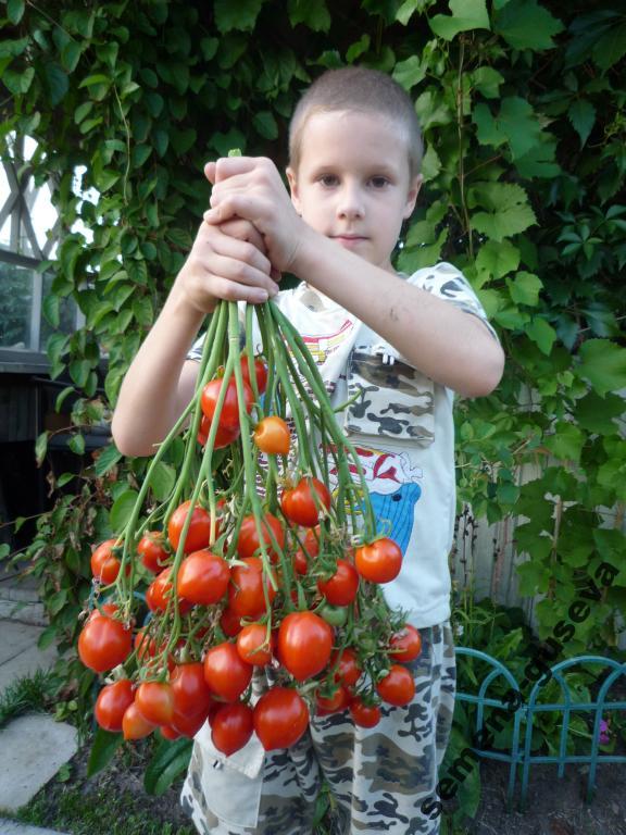 томат поцелуй герани фото
