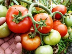 помидоры Bush Beefsteak