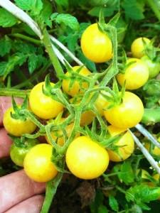белые черри помидоры