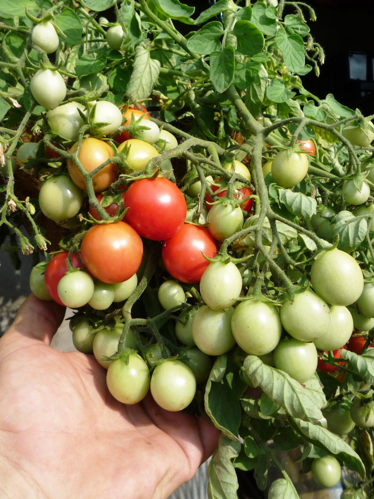 У томатов засыхают цветки