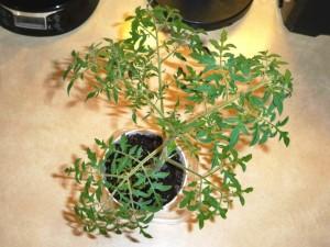 Помидоры Silvery Fir Tree - Серебристая или Голубая Ель