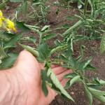 почему листья томата скручиваются вверх (9)