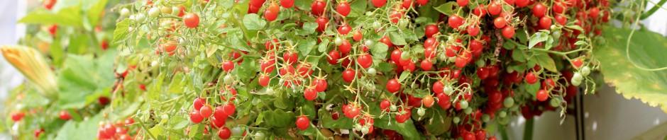 лилипут помидоры